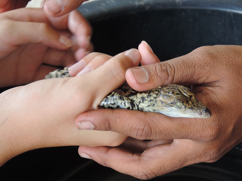 Holding a baby croc