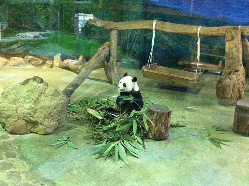 Panda at Taipei Zoo