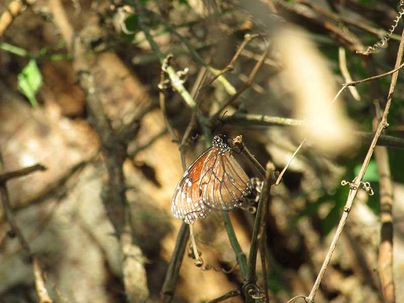OmetepeButterfly