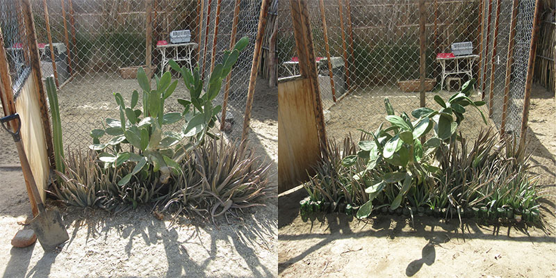 One of our cactus beds before and after